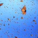 Flight of the Butterflies - Monarch Sky2 - SK Films2 (1)